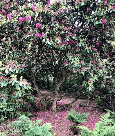 Rhododendron TK 397px